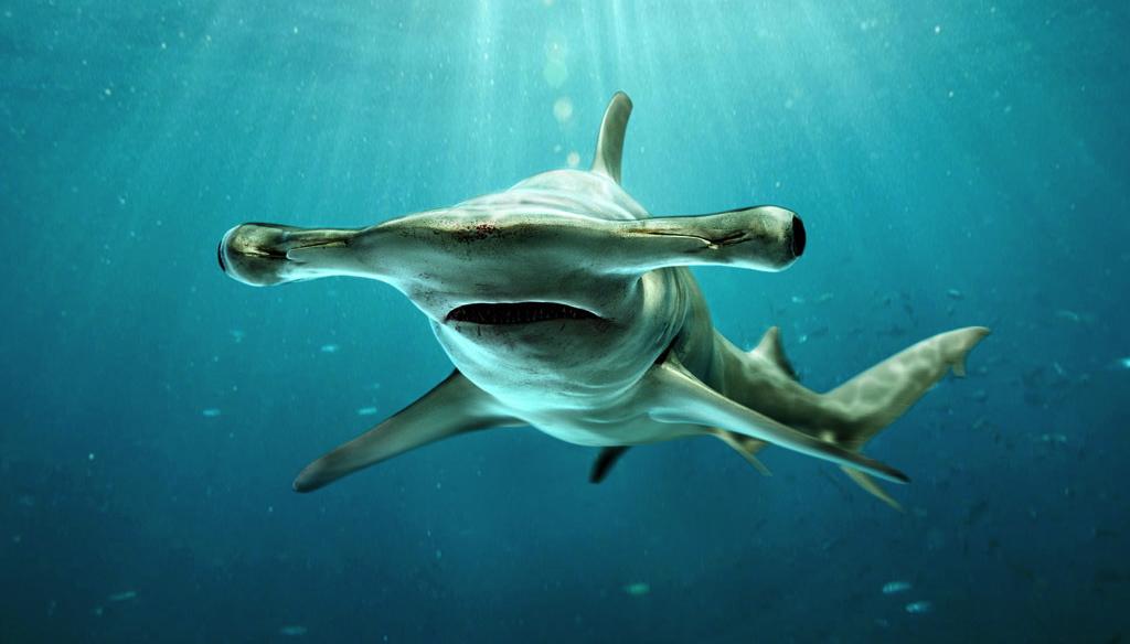 サーフィン ハンマーヘッド サメ