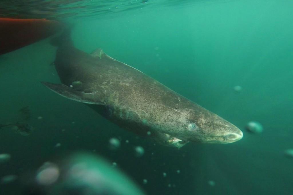 400歳のニシオンデンザメ